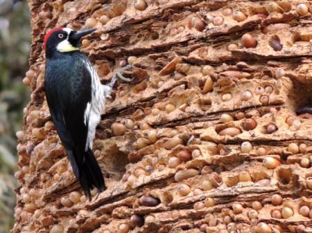 acorn-woodpecker-13-660x495